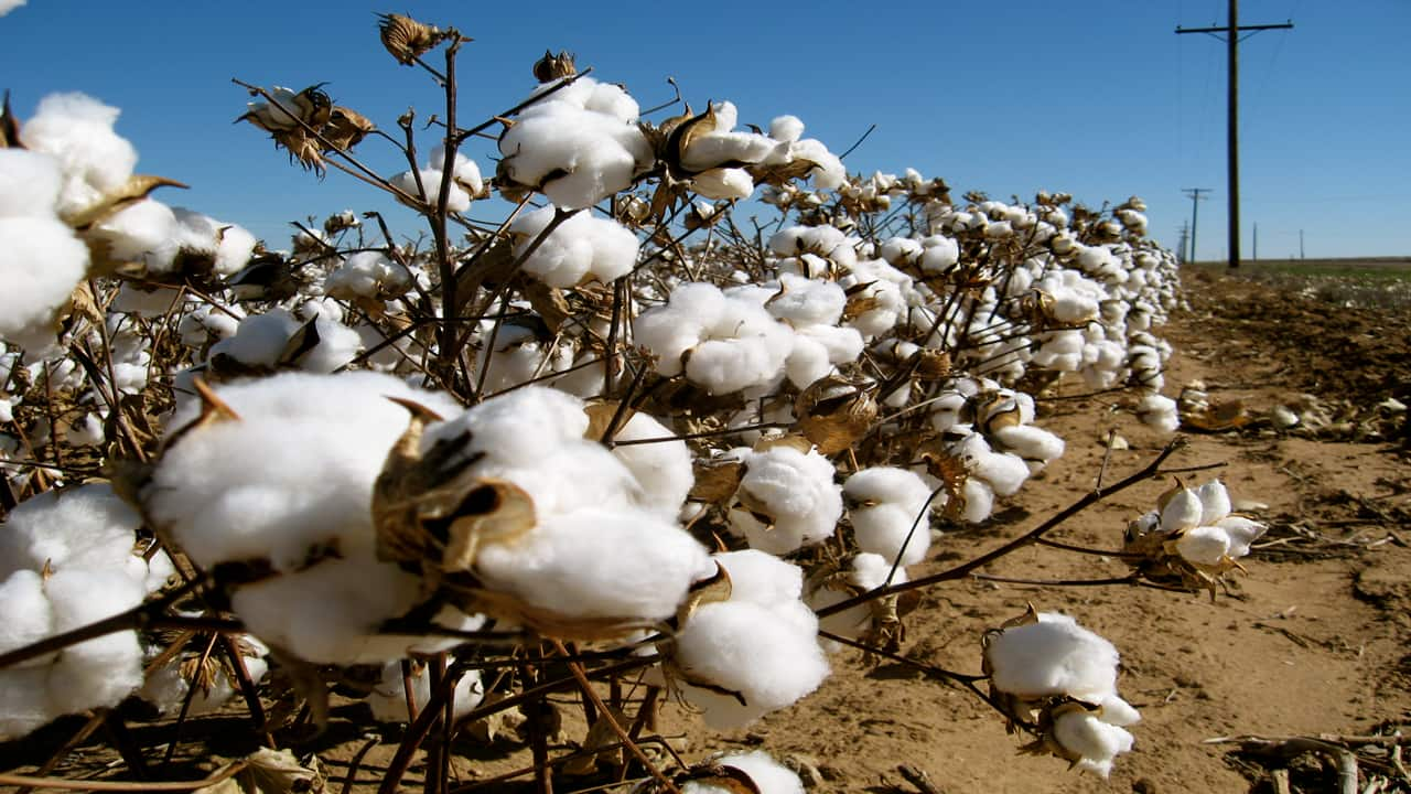 Cotton trades higher at Rs 19,820 per bale in evening trade on production worries