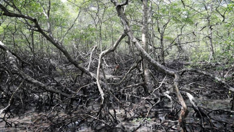 How carbon cycles in Pichavaram mangroves