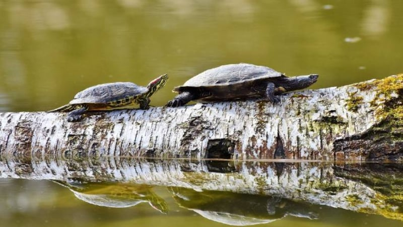 Moved from temple ponds to the wild, black softshell turtles walk towards revival