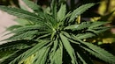 UN removes cannabis off dangerous drugs list, India too votes in favour of reclassification