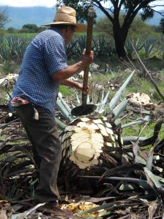 Representative image of agave being processed at a plantation in Mexico.
