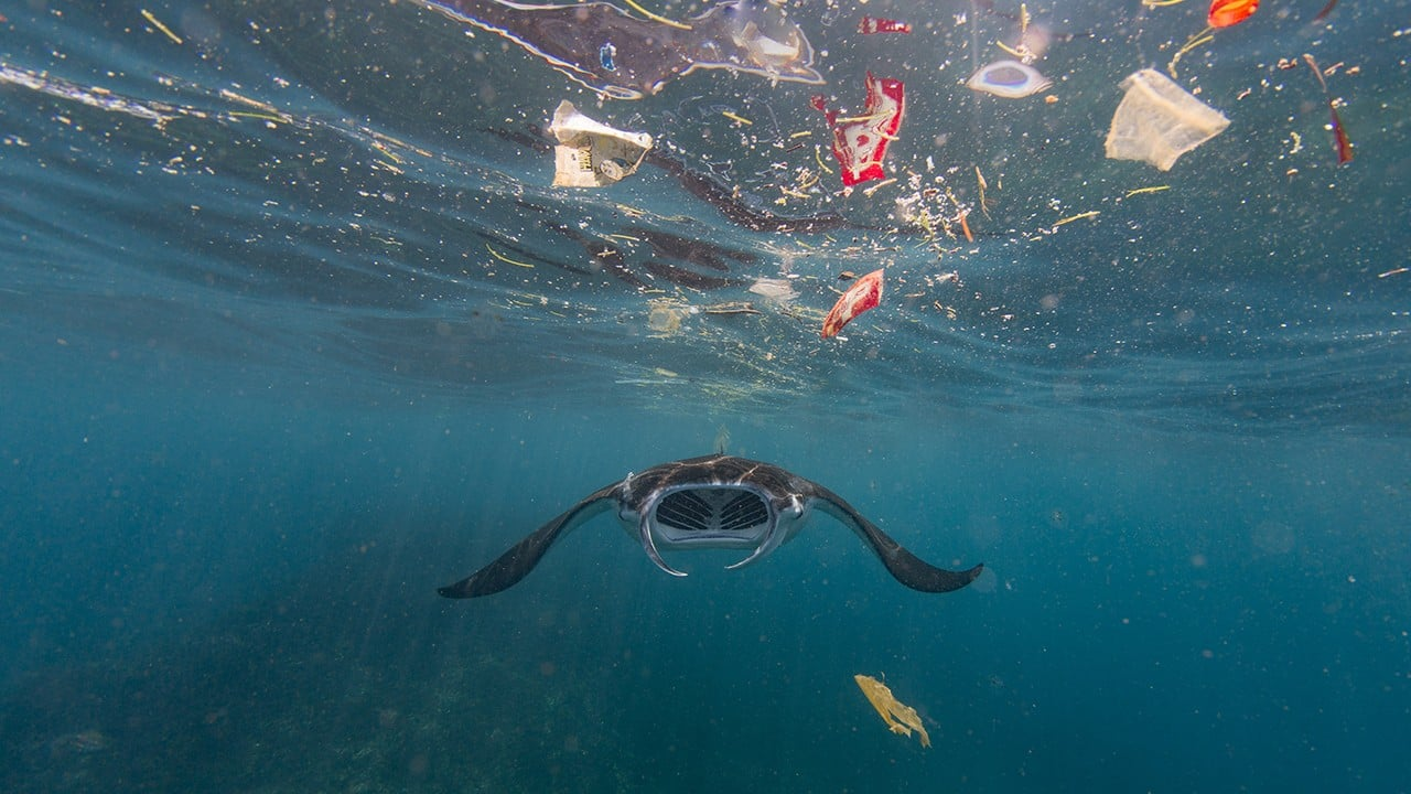 A filter-feeding manta ray attempts to eat amidst the plastic in Bali's Nusa Penida. Recent research has shown that these manta rays ingest as much as 137 pieces of plastic an hour, which exposes their population to unknown long-term risks. (Image: Vincent Kneefel (The Netherlands) via UN)