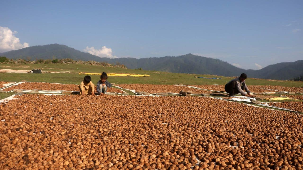 India's walnut exports have been shrinking; they came down from 3,292 metric tonnes valued at Rs 117.92 crore in 2015-16 to 1069.75 metric tonnes worth Rs 29.75 crore in 2020-21. (Photo: Irfan Amin Malik)