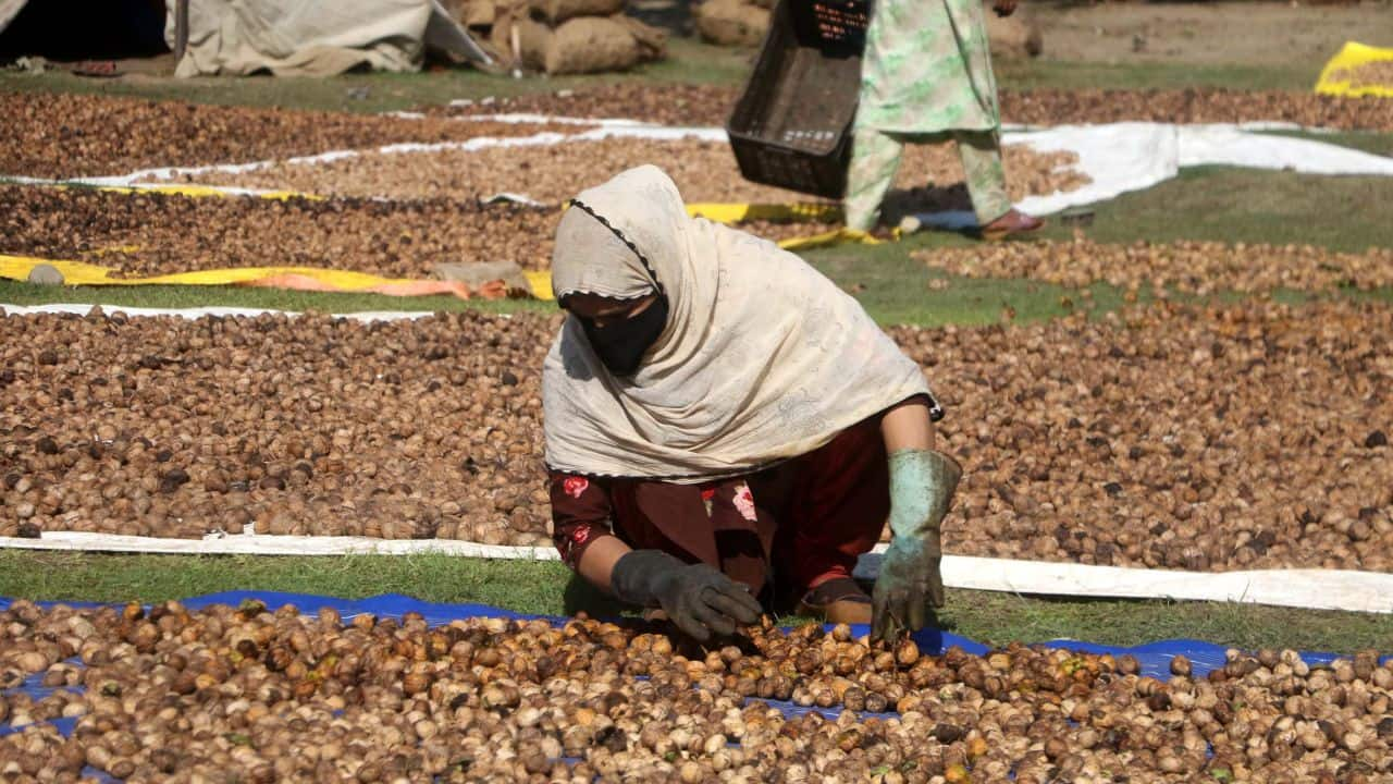 Orchards for specific varieties of walnuts and more even yields in terms of consistent size and quality of the nuts could help to make Kashmiri walnuts more competitive in the market, industry insiders say.