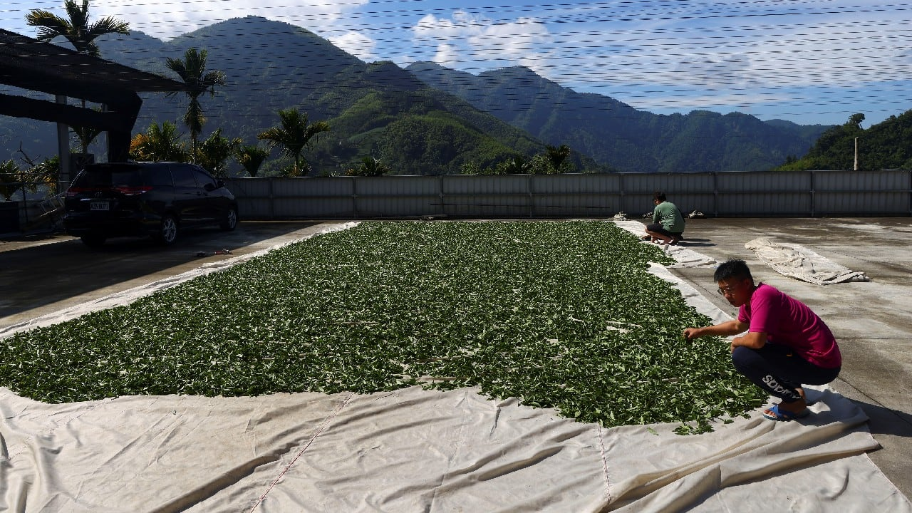"""Lin is working to educate farmers about the pests that proliferate with climate change, and how to identify and manage them. Her boss, senior agronomist Tsai Hsien-tsung, said they began monitoring weather changes in the tea country four years ago and have already seen the crop's flavour alter with the seasons. """"Temperatures are going up, rainfall is going down. There is less moisture in the air,"""" he said. """"Tea is very sensitive."""" (Image: Reuters)"""