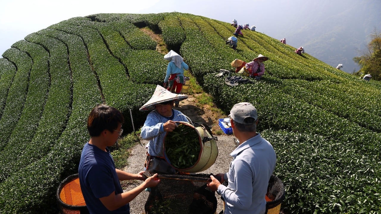 A once-in-a-century drought last year followed by torrential rain this year has decimated tea crops and left Taiwan's farmers scrambling to adapt to the extreme weather changes. (Image: Reuters)